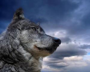 The Wolf is a Job Winner!